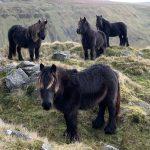 Beginners Best General Fell Ponies - Suzanne Montgomery